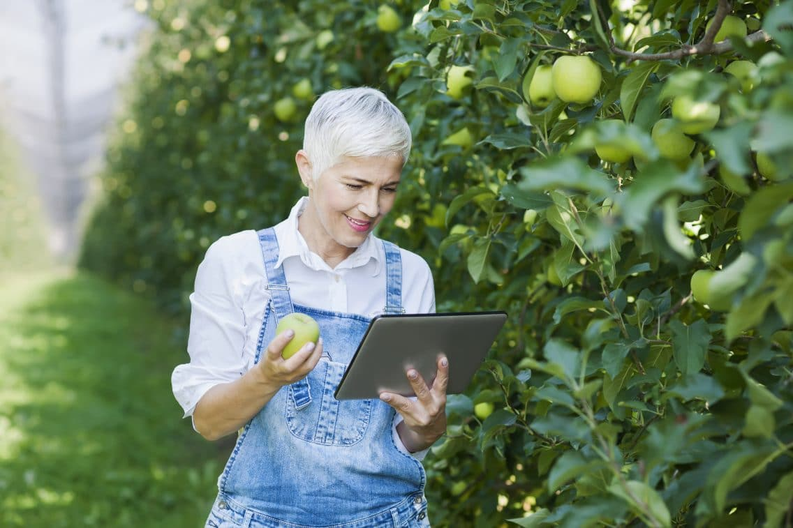 Mature-senior woman harvesting granny smith apple at apples plantation, using digital tablet for calculation products